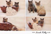 UK Cat Breeder - British Blue Shorthair Cats / Muffin and Poppy www.muffinandpoppy.co.uk