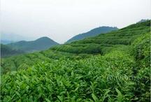Tea Farms We've Visited