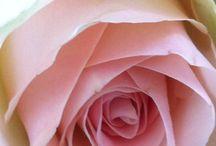 Rozen -Roses