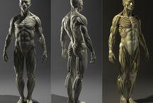 Anatomy (Human Body)
