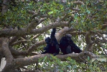 Chimpanzees / by Volcanoes Safaris