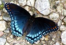 Beautiful Butterflies / Some beautiful butterflies for inspiration