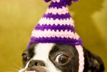 Boston Terriers / Puppies!