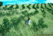 Alley crops & fodder