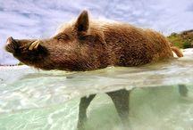 cute pigs, boars