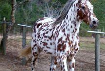 Dieren paard