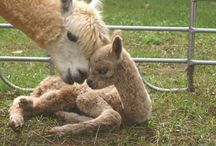 Alpacas  / by Alpaca Farmgirl