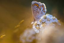 Farfalle-Butterflies