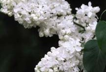 Lilacs / by Traseguss Trunenp