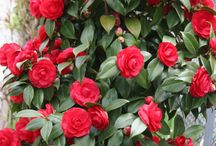 azalee.camelii, rododendron