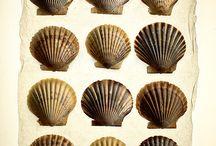 shells - coquillages et coraux