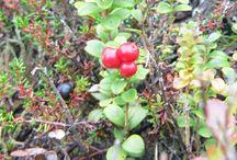 Beeren, Pilze, Kräuter / Moltebeeren, Heidelbeeren, Morcheln, Steinpilze, Hexenröhrling - eben alles, was man in der Natur sammeln und verzehren kann (oder auch nicht!!)