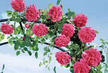 como plantar roseiras