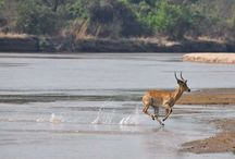 Wildlife in Action / Action photos of wildlife in the Luangwa Valley, Zambia.