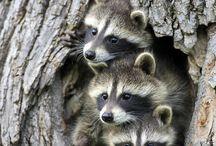 Pleins de racoons