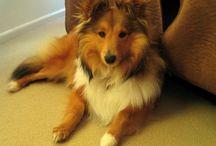 Sheltie dog I miss Tig