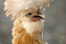 chickiess