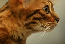 Bengal cat - my dream cat