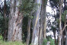 Eucalyptus (Eucalyptus Globulus) / All things related to the medicinal plant Eucalyptus.