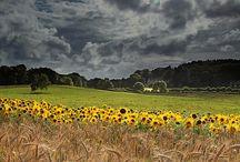 Sunflowers (Ayçiçeği)