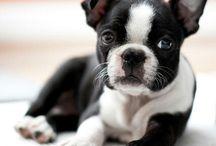 Boston Terrier ( United States )