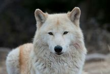 Lobos e cachorros