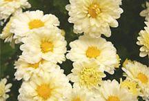 Chrysanthemum / Ju hua