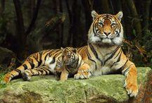 ANIMAL • Tiger