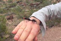 Blister Beetle Bites