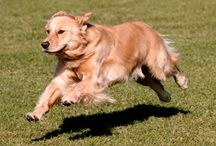 Golden Retriever / Golden Retrievers are heavily muscled, with a dense coat and a heavily feathered tail. These highly-trainable sporting dogs have a confident, eager and alert personality - and need constant attention to be happy. Gentle and loving, the Golden Retriever makes a good family pet.