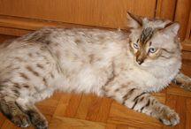 Długowłose rasy kotów