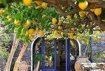 sitron trær