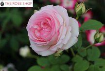 ROSE/ピエール ドゥ ロンサール  Pierre de Ronsard / 時代を超えて愛される世界バラ会連合殿堂入りの銘花、ピエールドゥロンサール。見事な花をつけるつるバラです。