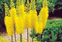 Foxtail lily