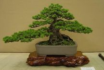 BONSAI / REALLY NICE