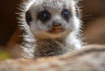 Surikater Meerkats