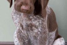 Puppy  / German short haired pointer