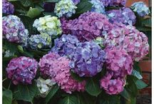 L.A. Dreamin' Hydrangea / As L.A. Dreamin'® matures, it can bloom in shades of blue, purple, and pink—at the same time, on the same plant. Great reblooming power!