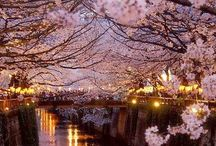 Cherry Blossoms pics