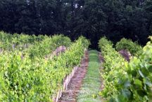 The Vineyard at Seven Springs / Take a look at the beautiful pictures of our vineyard here at Seven Springs Winery.  The vineyards are not only good for making our delicious wine, but they're also a perfect backdrop for an outdoor wedding!