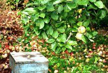 Kasvimaani / My potager and fruit garden / Kasvimaani on rakennettu kätevästi laatikoihin ja se on sijoitettu vanhan hedelmä- ja marjatarhan viereen.