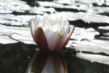 Ninfee in fiore / Le Ninfee sono piante acquatiche dall'indubbio carattere scenografico che, con i loro fiori grandi e colorati, rendono unico il nostro meraviglioso giardino.