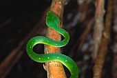 Rungwe Tree Viper