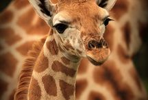 For the love of Giraffes