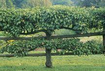 Garden Espalier & Pleaching
