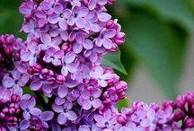Šeříky-poměnky-lilie-gladioly