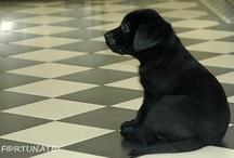 My labradors Fortunate / Labrador retriever
