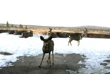 Our Wildlife Friends / The elk, deer, bunnies and hawks of Bend, Oregon are at home at Tetherow.
