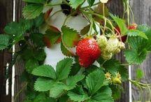 cultiver les fraises