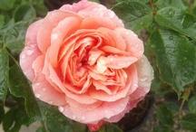 Summer Roses at Powerscourt